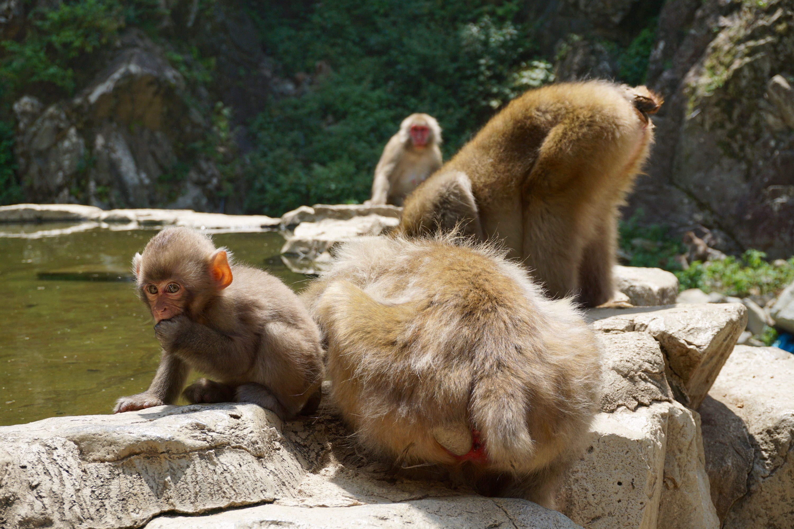 monkeys at the spring